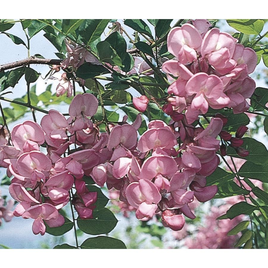 3.63-Gallon Purple Robe Locust Flowering Tree (Lw01513)