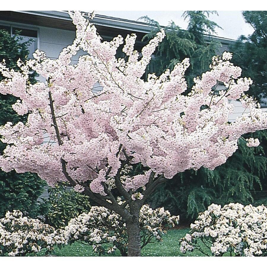 6-Gallon Yoshino Flowering Cherry Flowering Tree (L3234)