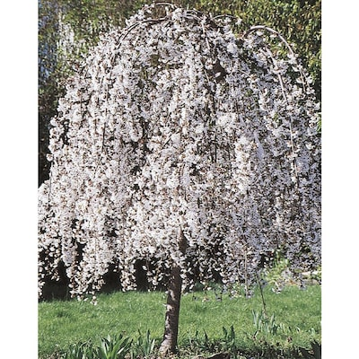 6 08 Gallon White Weeping Cherry Feature Tree In Pot With Soil