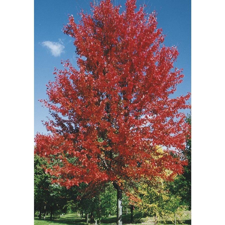 6.08-Gallon Autumn Blaze Maple Shade Tree (L1123)