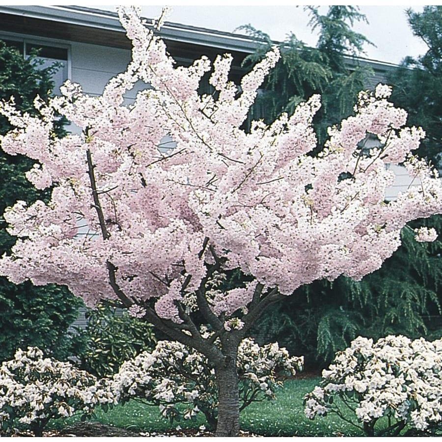 6.08-Gallon Yoshino Flowering Cherry Flowering Tree (L3234)