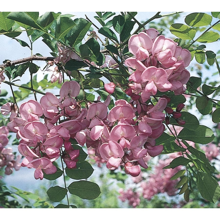 6.08-Gallon Purple Robe Locust Flowering Tree (LW01513)