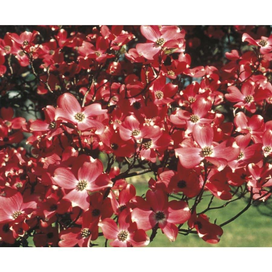 3.63-Gallon American Beauty Dogwood Flowering Tree (L9776)