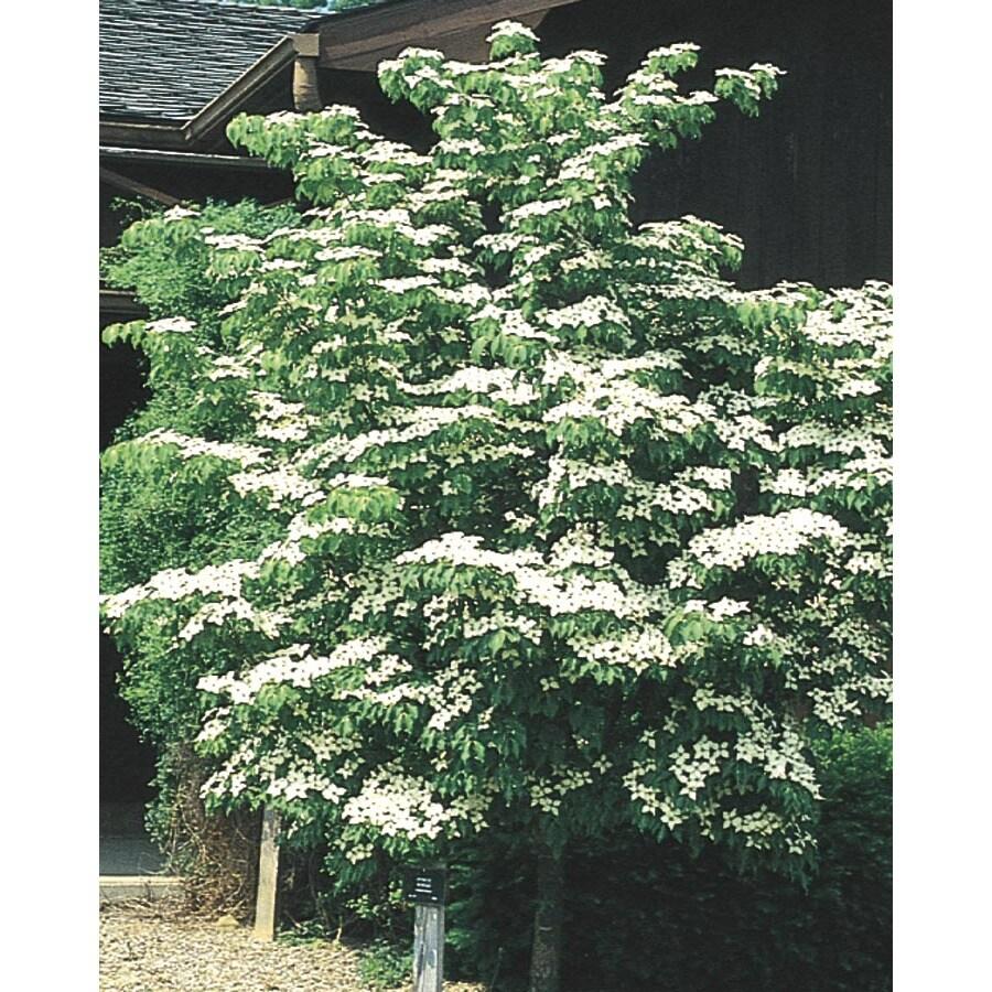 3.63-Gallon Kousa Dogwood Flowering Tree (L1140)