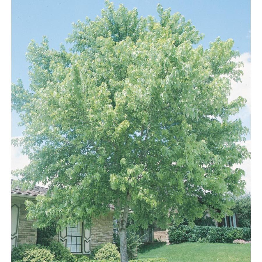 3.74-Gallon Silver Maple Shade Tree (L1124)