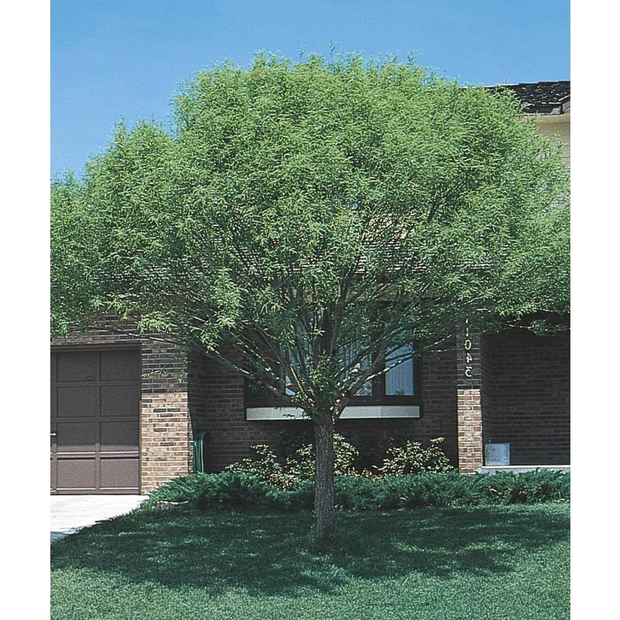 3.74-Gallon Globe Willow Shade Tree (L1412)