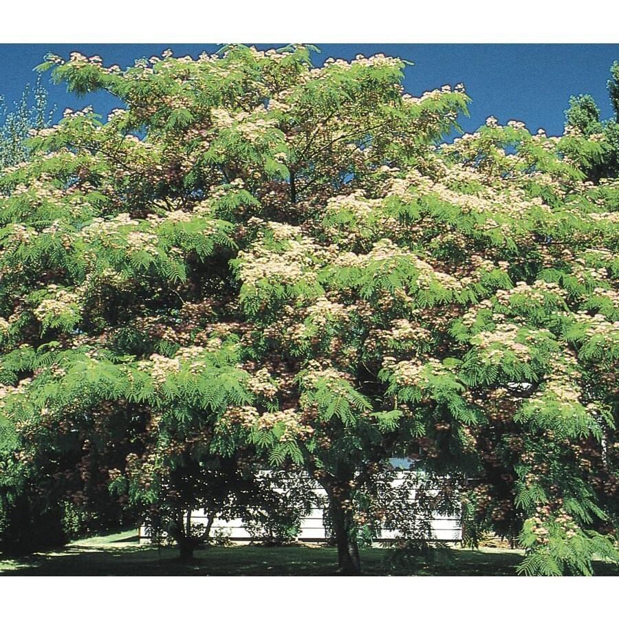 3.63-Gallon Mimosa Tree Flowering Tree (L1103)