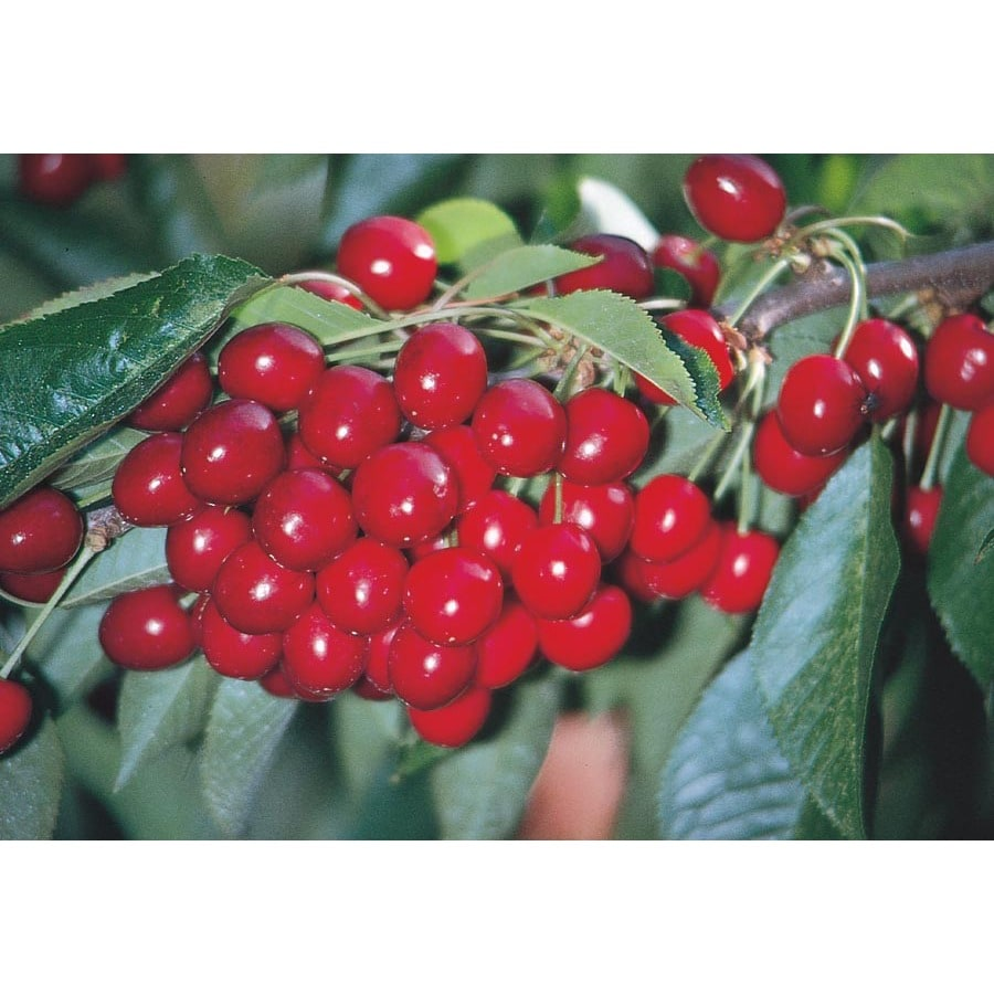 3.25-Gallon Early Richmond Cherry Tree (L6898)