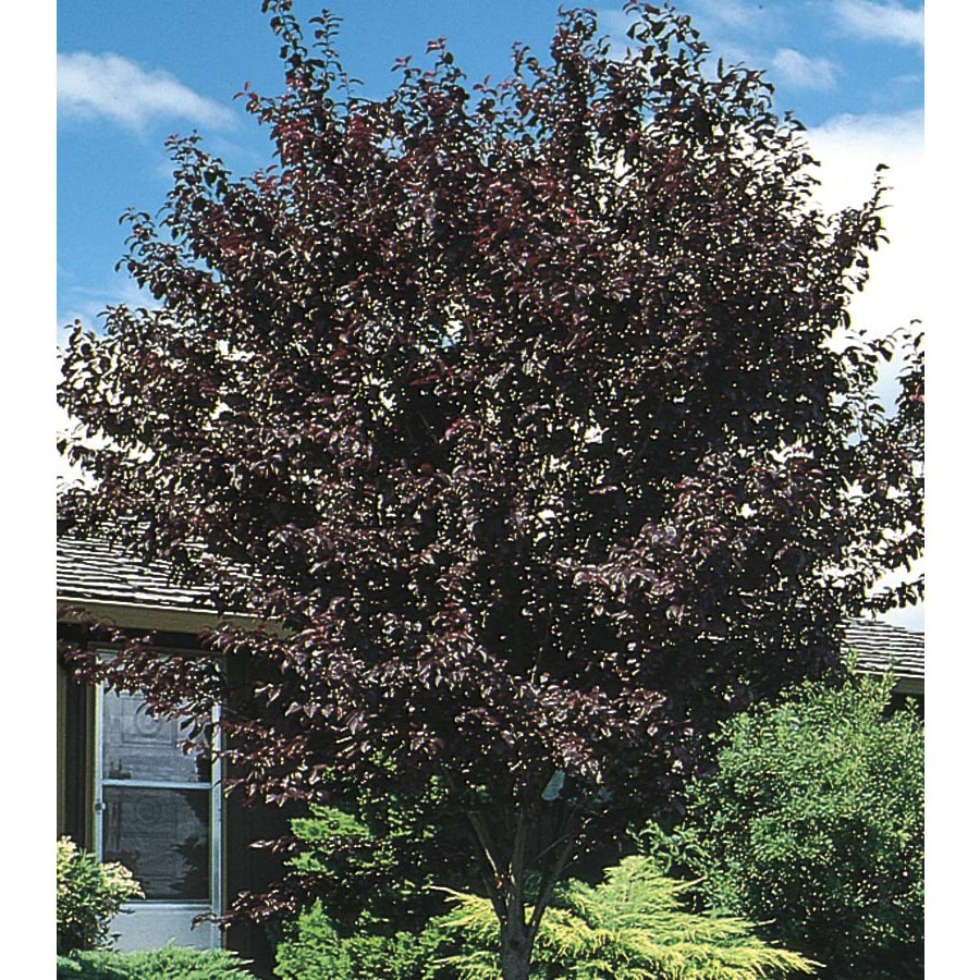 Thundercloud Flowering Plum (L3215)