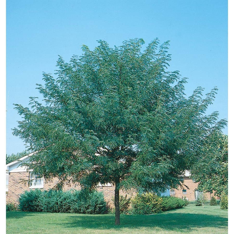 24.5-Gallon Shademaster Honeylocust Shade Tree (L1043)