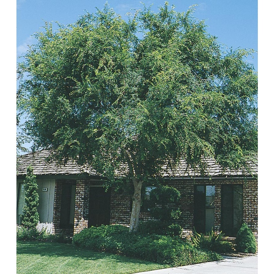 5 5 gallon white lace bark chinese elm shade tree in pot with soil
