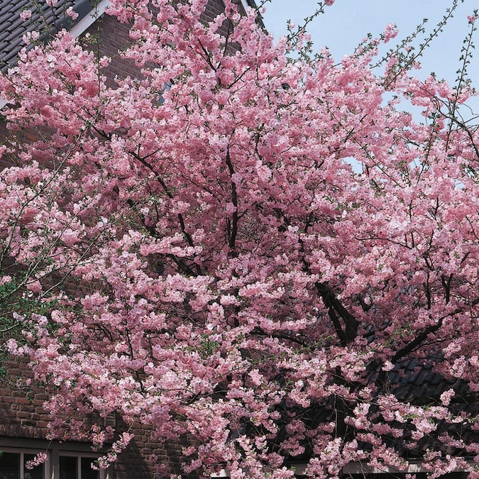 24 5 Gallon Pink Kwanzan Cherry Flowering Tree In Pot With Soil L1023 In The Trees Department At Lowes Com