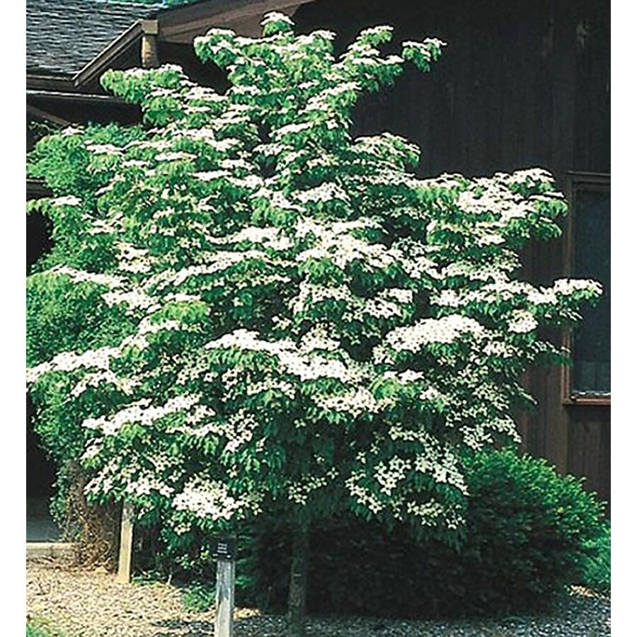 24.5-Gallon Kousa Dogwood Flowering Tree (L1140)