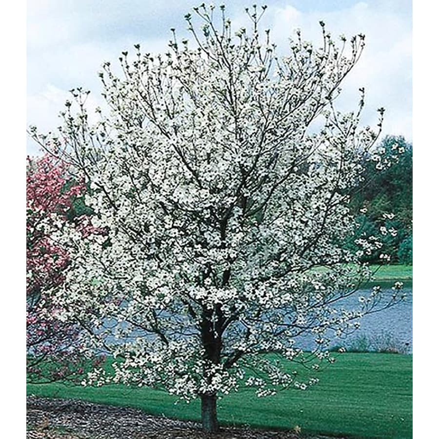 3.25-Gallon Cherokee Princess Dogwood Flowering Tree (L7329)