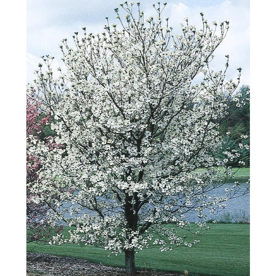 24.5-Gallon Cherokee Princess Dogwood Flowering Tree (L7329)