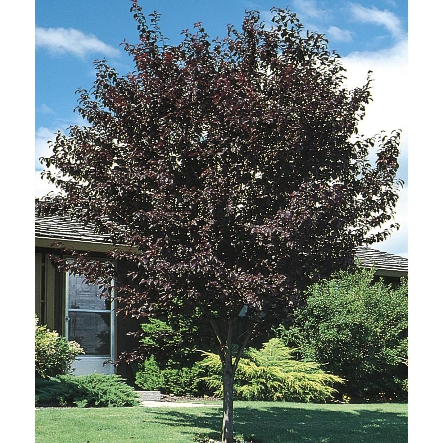 10.25-Gallon Thundercloud Flowering Plum Flowering Tree (L3215)