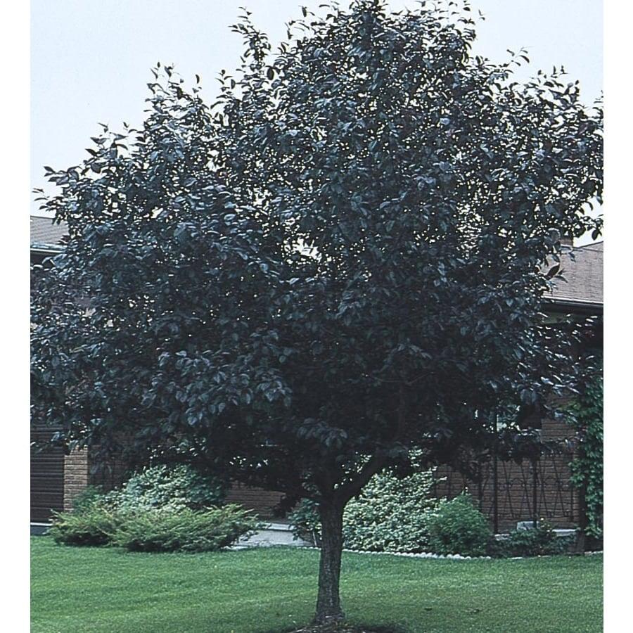24-Gallon Purpleleaf Plum Flowering Tree (L1096)