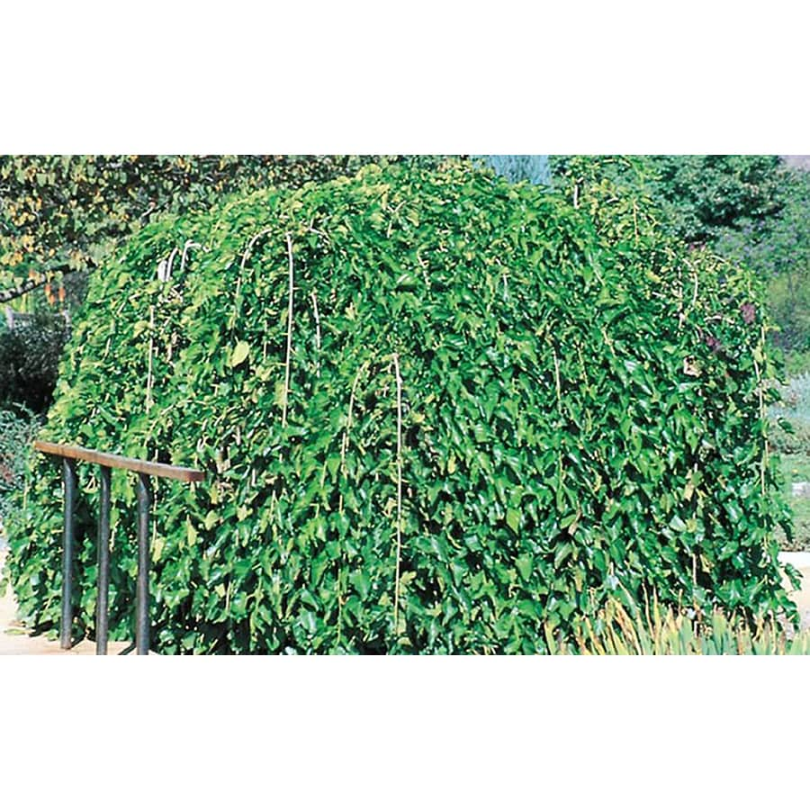 10.25-Gallon Weeping Mulberry Feature Tree (L1377)
