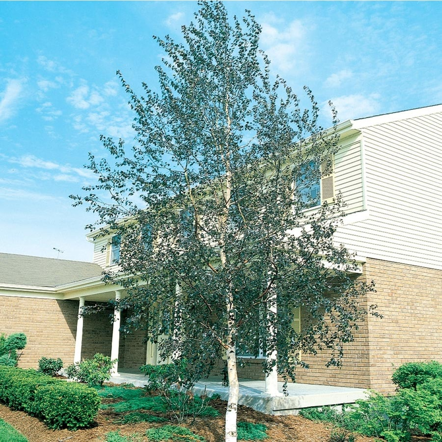 5.5-Gallon Single Trunk European White Birch Feature Tree (L8444)