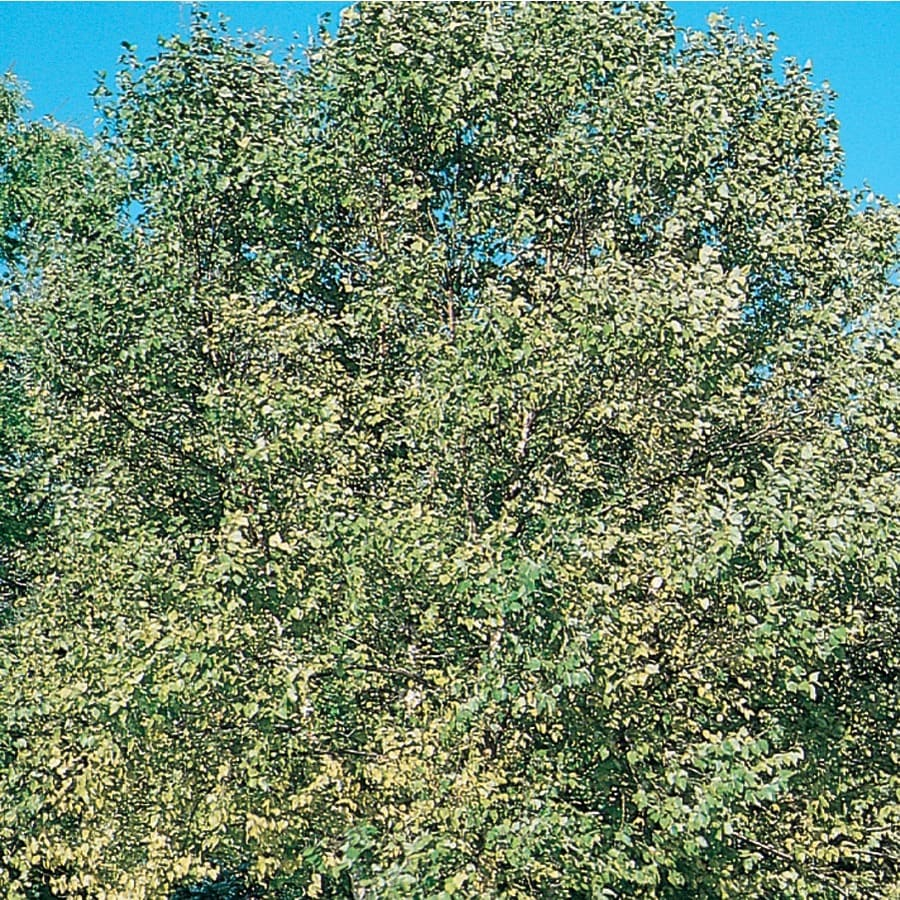 24.5-Gallon Clump River Birch Feature Tree (L1131)