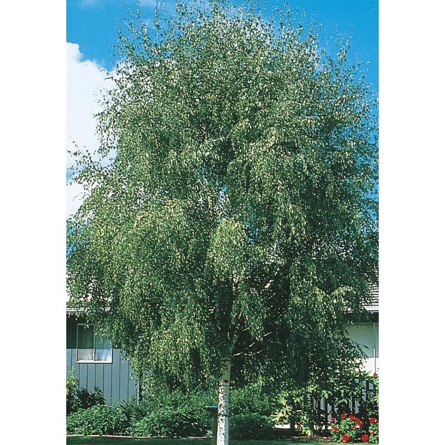 24.5-Gallon European White Birch Feature Tree (L1050)