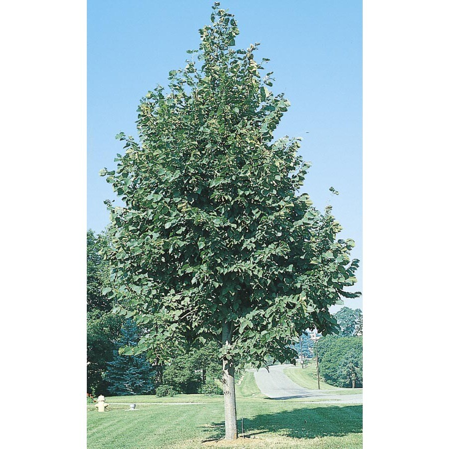 24.5-Gallon Redmond Linden Shade Tree (L1076)