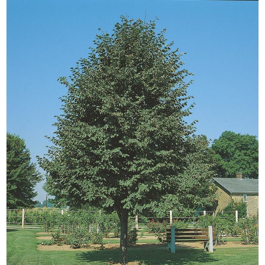 5.5-Gallon Greenspire Linden Shade Tree (L1072)