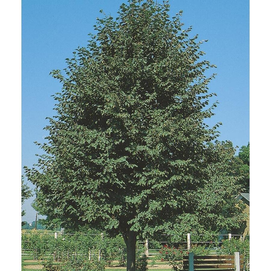 24.5-Gallon Greenspire Linden Shade Tree (L1072)