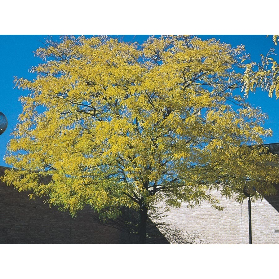 10.25-Gallon Golden Honeylocust Shade Tree (L5182)