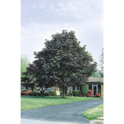 10 25 Gallon Yellow Crimson King Norway Maple Shade Tree In Pot