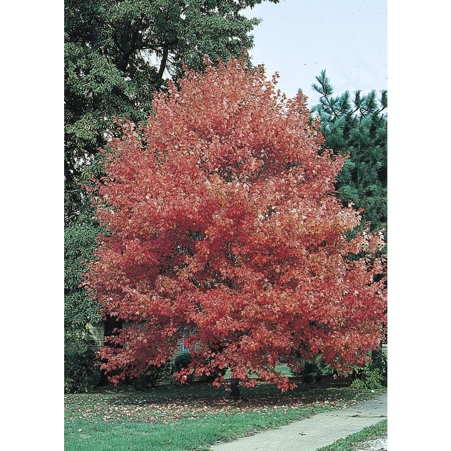 10.25-Gallon Autumn Flame Maple Shade Tree (L3170)