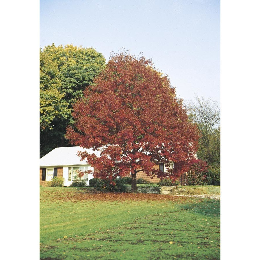 3.25-Gallon Northern Red Oak Shade Tree (L4574)