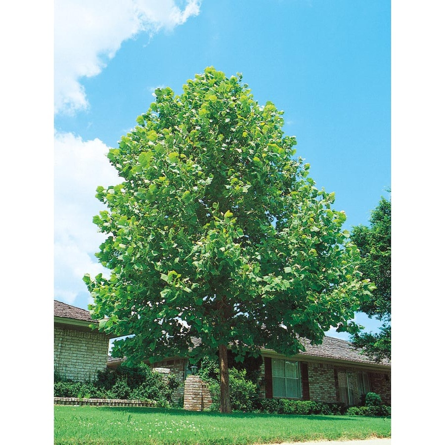 Shop 43 5 Gallon Sycamore Tree Shade Tree L1049 At Lowes Com