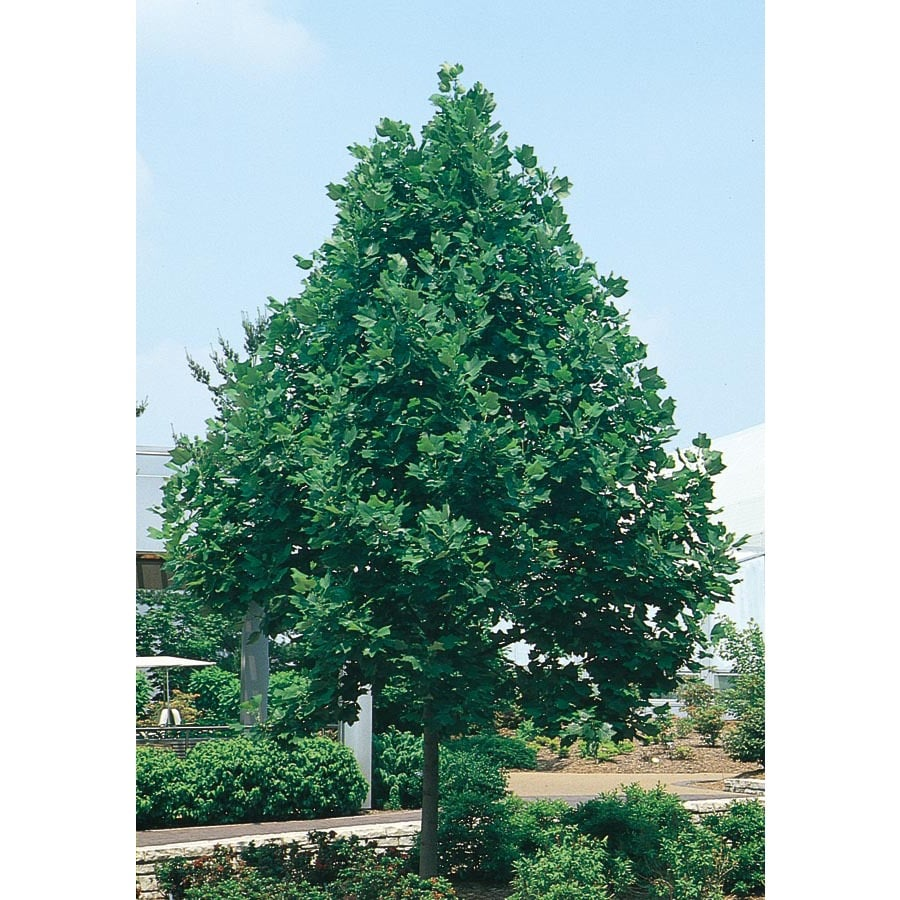 43.5-Gallon Tulip Poplar Shade Tree (L1081)