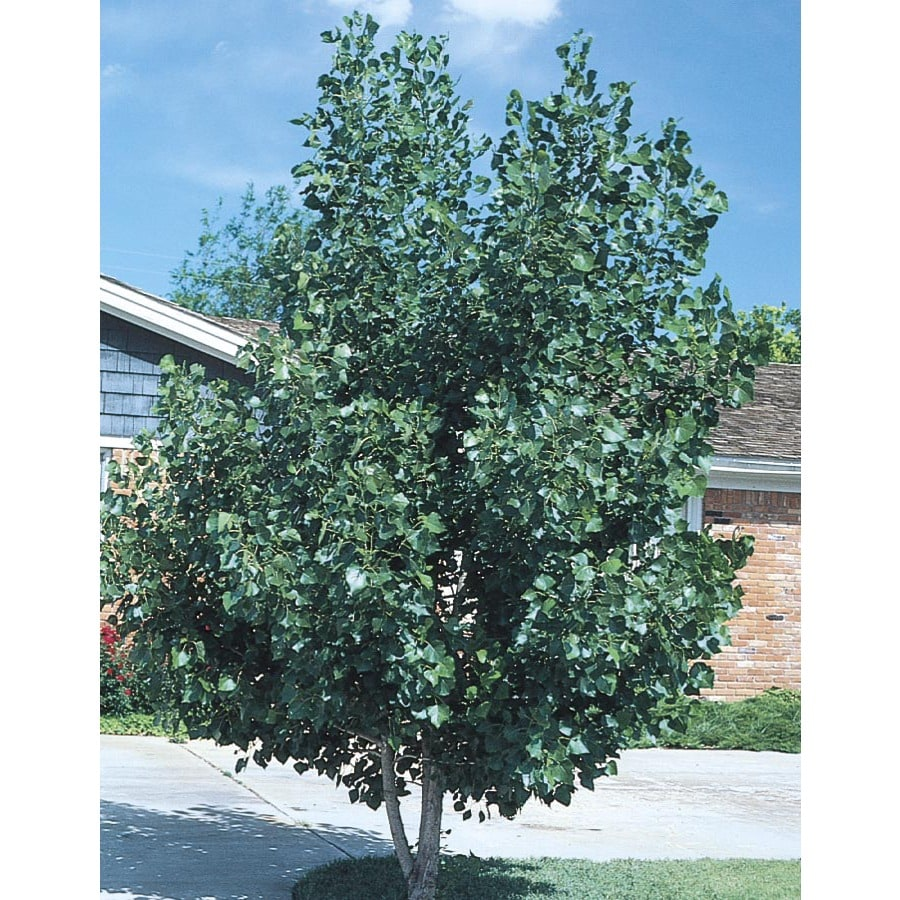 12.68-Gallon Quaking Aspen Clump Shade Tree (L11832)