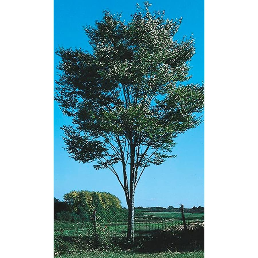 24.5-Gallon Green Vase Zelkova Shade Tree (L7836)