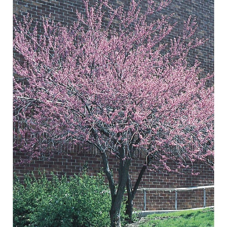 13.35-Gallon Redbud Flowering Tree (L11838)
