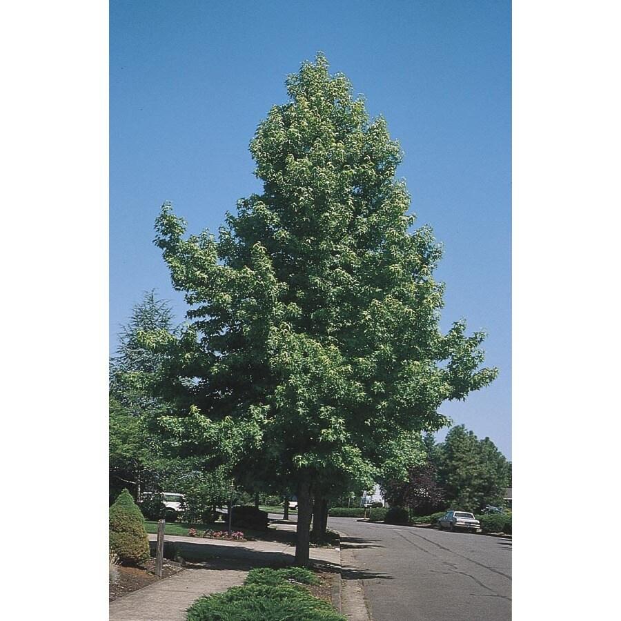 5.5-Gallon Sweetgum Tree Shade Tree (L1001)