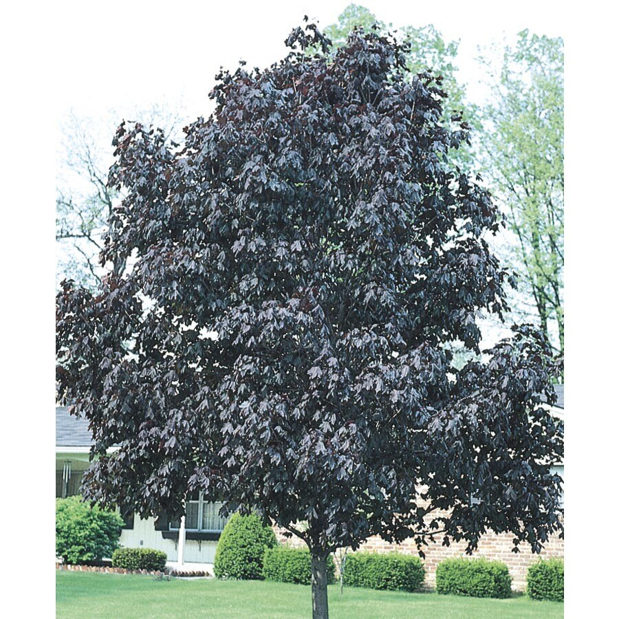 6-Gallon Royal Red Norway Maple Shade Tree (L1156)