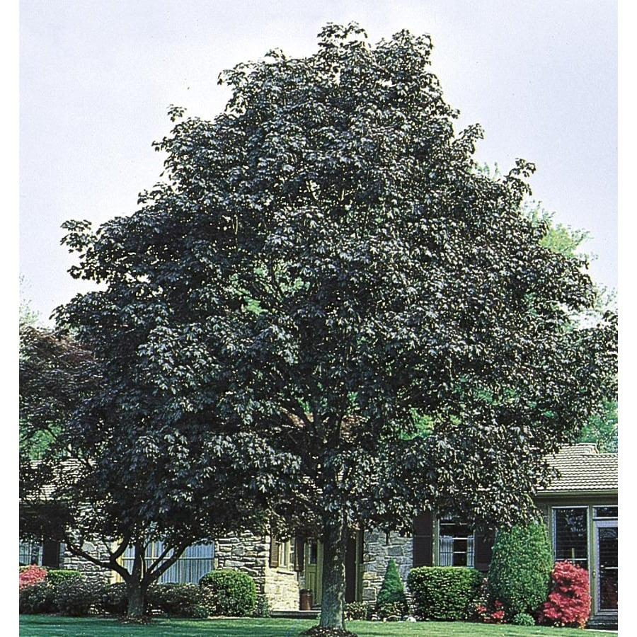 6.08-Gallon Crimson King Norway Maple Shade Tree (L3166)