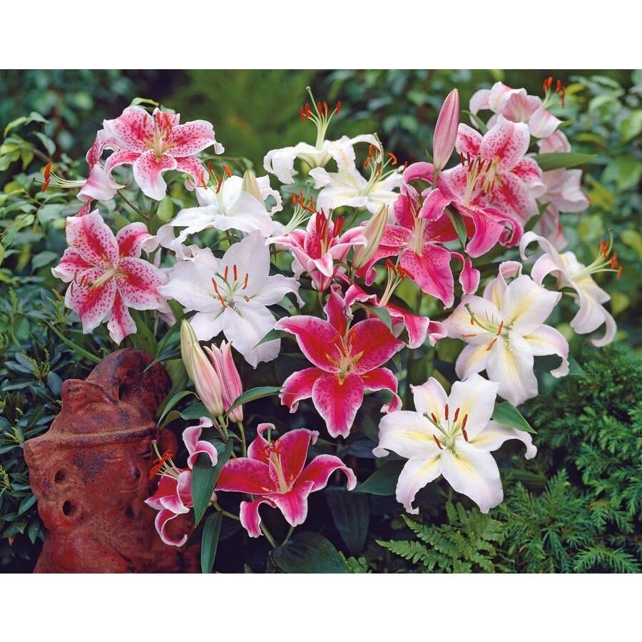 1.25-Quart Oriental Lily (L5754)