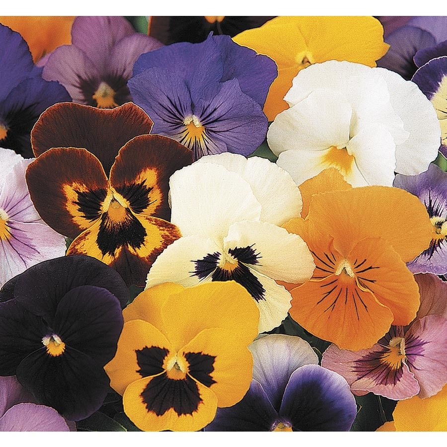 1.56-Gallon Pansy (L5048)