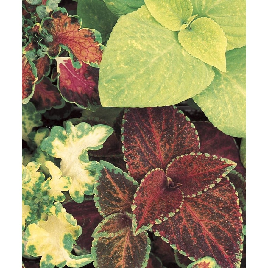 2-Gallon Coleus (L2567)