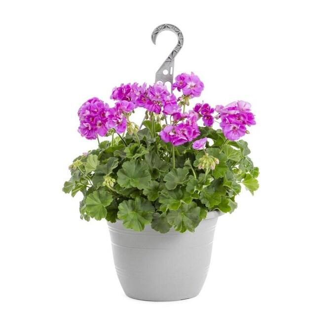 1 5 Gallon Multicolor Geranium In Hanging Basket L5450 In The Annuals Department At Lowes Com