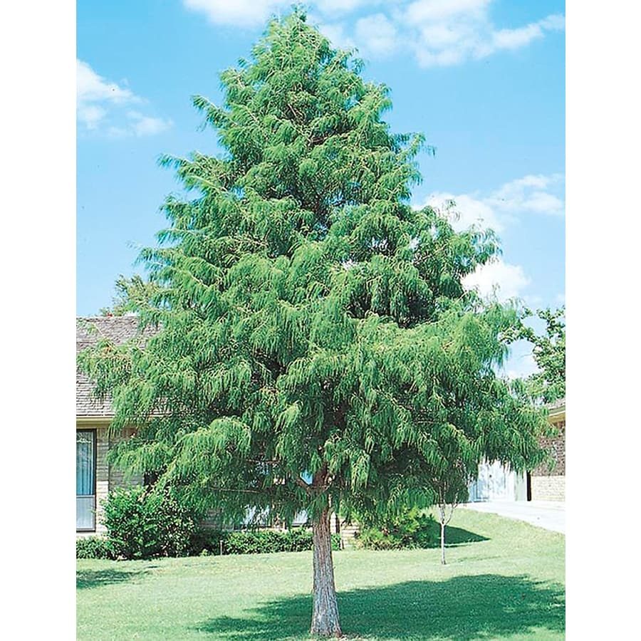 8.75-Gallon Bald Cypress Shade Tree (L3245)