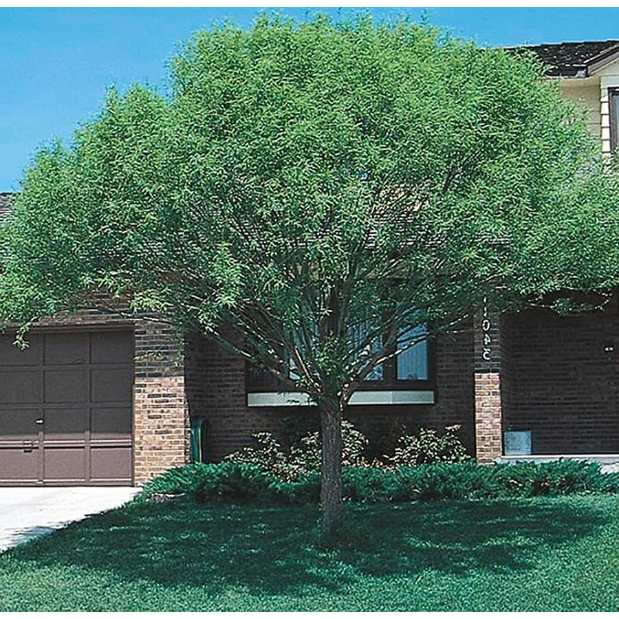 8.75-Gallon Globe Willow Shade Tree (L1412)