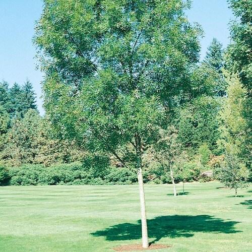 Jardini In A 75 Gallon: 8.75-Gallon Raywood Ash Shade Tree In Pot (With Soil