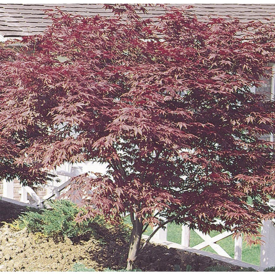 2.5-Quart Red Japanese Maple Feature Tree (L3165)