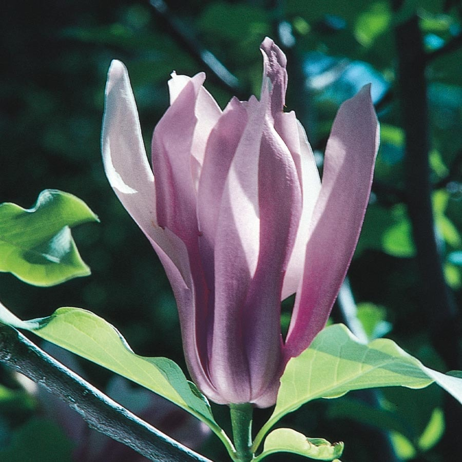 325 Gallon Multicolor Ann Magnolia Flowering Tree In Pot With Soil