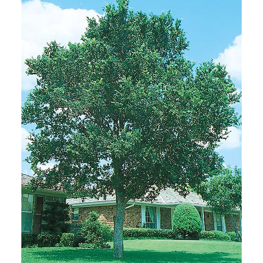 3 25 gallon cedar elm shade tree in pot with soil l1416 at lowes com